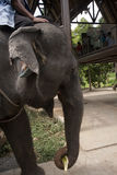 Elephant portrait. Ko Samui, Thailand Royalty Free Stock Photo