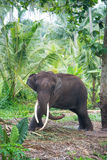 Elephant portrait with large tusks in jungle Stock Image