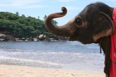 Elephant portrait, Sri Lanka. Happy elephant n the beach, Sri Lanka Royalty Free Stock Photography