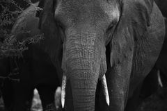 Elephant portrait from Tanzania Stock Photography