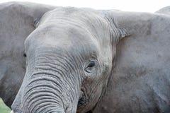 Elephant portrait Stock Photos
