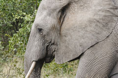 Elephant. Portrait of an Elephant walking through the bush Stock Images