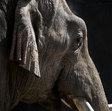 Elephant. A portrait of a young elephant stock photos