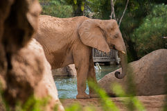 Elephant portrait. Elephant at the zoo, pelican in the background Stock Photography