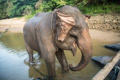 Elephant& x27; prima colazione di s Fotografia Stock Libera da Diritti