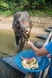 Elephant& x27; prima colazione di s Fotografia Stock
