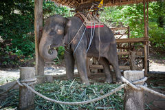 Elephant prisoner in captivity. Elephant riding for tourists in the paddock stock photos