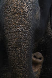 Elephant proboscis. Animal mammal skin surface Stock Photography