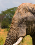 Elephant profile. Elephant, encrusted with mud after washing in pond, stands in profile to camera Royalty Free Stock Photo