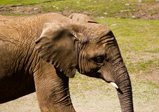 Elephant Profile. Photograph of an elephant profile, highlighting its wrinkles and age Royalty Free Stock Photo