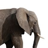 Elephant in profile. Friendly elephant in profile on white background Royalty Free Stock Photos