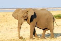 Elephant profile. An african elephant profile portrait Stock Images