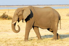 Elephant profile Stock Images