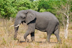 Elephant profile. An african elephant profile portrait Royalty Free Stock Photo