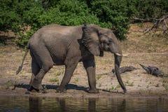 Elephant in profile walking along sunny riverbank Stock Photography