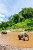 Elephant in protected nature park. Near Chiang Mai, Thailand Stock Images