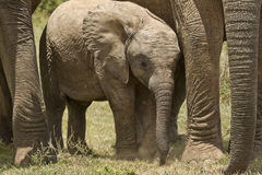 Elephant protection Stock Images