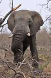Elephant pulling down tree branches for a snack. Royalty Free Stock Image
