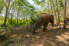 Elephant pulling a tree trunk Royalty Free Stock Photography