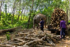 Elephant pulling a tree trunk Stock Image