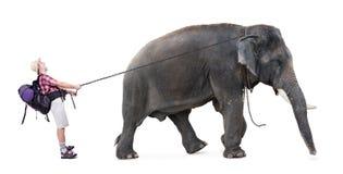Elephant pulls on chain unhappy tourist Stock Image