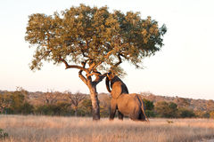 Elephant push marula tree Royalty Free Stock Photography