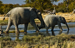 Elephant pushing baby. In Etosha National Park, Namibia Stock Image