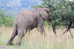 Elephant pushing tree. Young African Elephant in a South African National Park pushing a tree over royalty free stock images