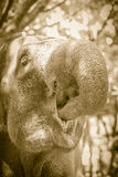 Elephant putting food into it's mouth with it's trunk. Elephant Stock Photo