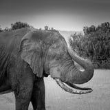 Elephant - QEP Royalty Free Stock Photo