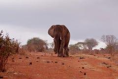 Elephant in rain Stock Image