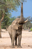 Elephant reaching up towards tree. Desert-adapted elephant (loxodonta africana) reaching up towards tree, Namibia Royalty Free Stock Photography