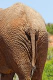 Elephant rear Royalty Free Stock Photography