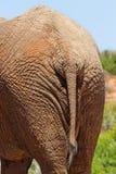 Elephant rear Royalty Free Stock Photography