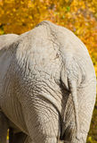 Elephant rear end Stock Images