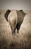 Elephant, rear view Royalty Free Stock Images