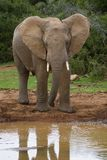 Elephant Reflection Stock Image
