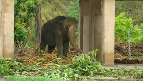 Elephant in rehabilitation. Elephant enjoying his rehabilitation in his enclosure Stock Photography