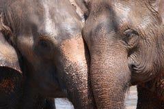 Elephant relationship Royalty Free Stock Image