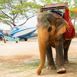 Brown and orange elephant with saddle stock photography