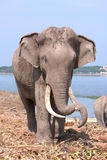 Elephant rest Royalty Free Stock Images