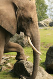 Elephant Resting Stock Photo