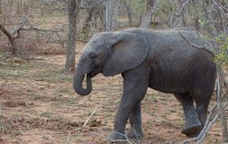 Elephant resting in a funny position in the savanna. South Africa Royalty Free Stock Images