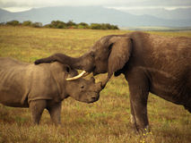 An elephant and a rhino. Sniffing each other, South Africa royalty free stock image