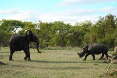 Elephant and Rhino Battle. Always lucky to see some interaction between 2 different species of animals Stock Photo