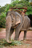 Elephant Ride Royalty Free Stock Image