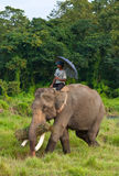 Elephant with Rider Stock Image