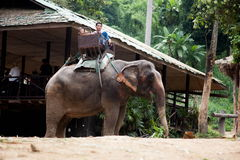 Elephant and rider Royalty Free Stock Image