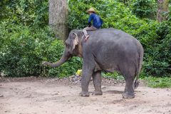 Elephant rider in Cambodia. SIEM REAP , CAMBODIA - OCT 15 : Cambodian man riding an Elephant at the Angkor Thom in Siem Reap Cambodia on October 15 2017 , Angkor Stock Image
