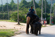 Elephant Riding. At a camp in Koh Samui, Thailand stock images
